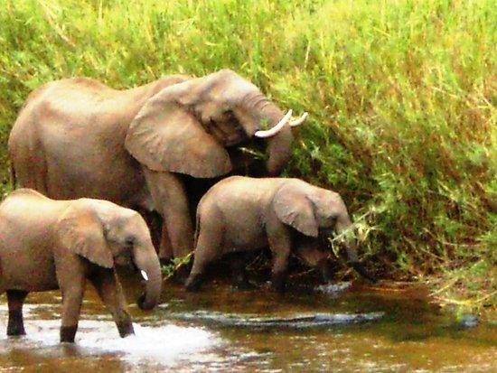 Kiepersol, Sudáfrica: Kruger Park
