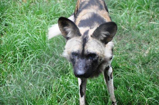 Kiepersol, Sudáfrica: Wild Dog