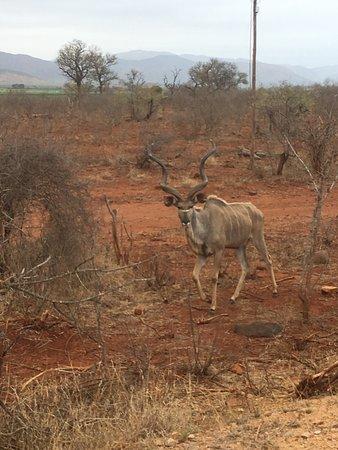 Национальный парк Крюгера, Южная Африка: Kudu! My FAVORITE of the non-predators. (The animal on the Nhongo Safaris logo).