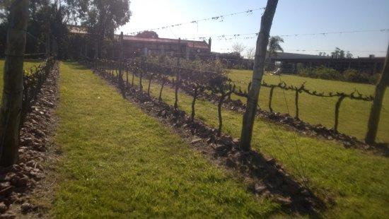 Bodega Bouza: Una mínima parte de los viñedos que se extienden por toda la enorme extensión del terreno.