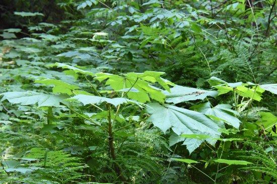 Skunk Cabbage Boardwalk: végétation