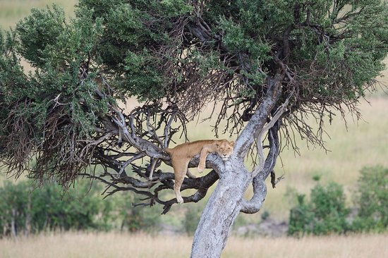 Serengeti Tanzania Safari Lion