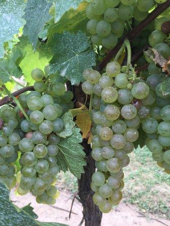 Inniskillin Wines at the Brae Burn Estate: photo2.jpg