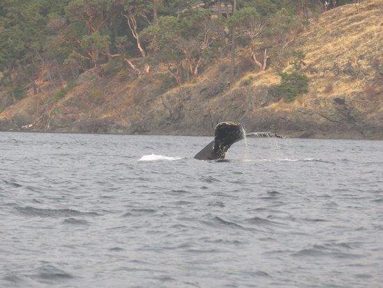 Friday Harbor, WA: Humpback Whale fluke