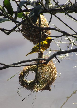 George, South Africa: Weaver Bird buildings its nest
