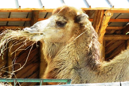 Murazzano, İtalya: Camel eating