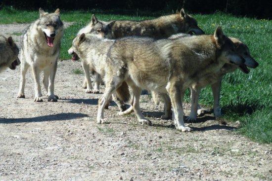 Murazzano, İtalya: Wolves