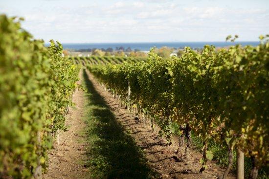 Beamsville, Canada: Estate Vineyard overlooking Lake Ontario