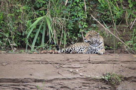 Tambopata Research Center: Jaguar