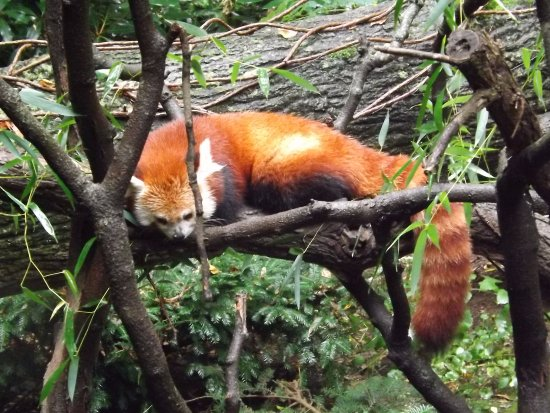 Red Panda Bronx Zoo - Picture of Bronx Zoo, Bronx ...