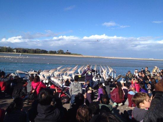 The Entrance, Austrália: Pelicans feeding