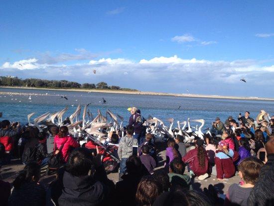 The Entrance, Austrália: Pelicans catching fish