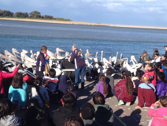 The Entrance, Austrália: So many pelicans