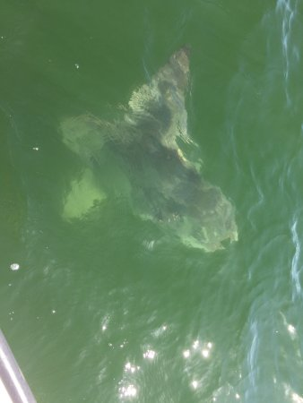 Crystal Clear Water - Giant Mola Mola Sunfish at Mouth of Essex River