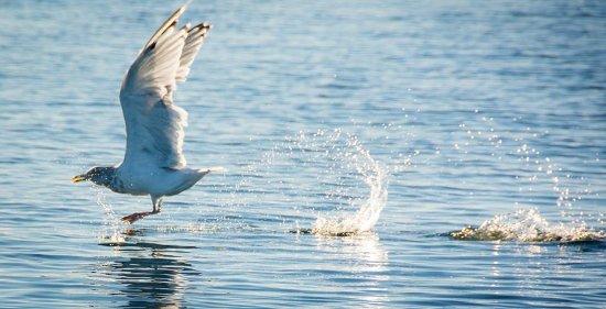 Essex, แมสซาชูเซตส์: Hunting Gull