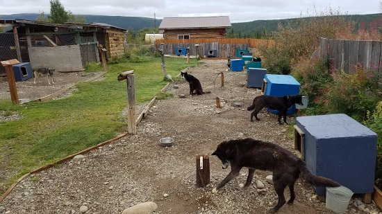 EarthSong Lodge - Denali's Natural Retreat: Sled Dogs!