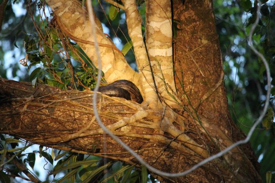 Python - Picture of Dan Irby's Mangrove Adventures, Daintree