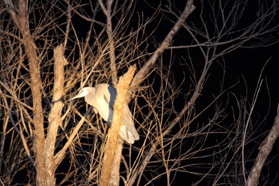 Daintree, Australia: Egret