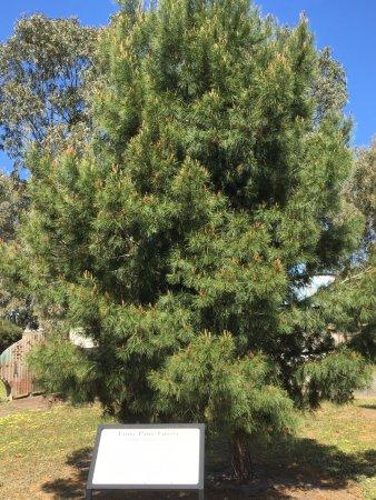 Horsham, Australia: Lone Pine memorial tree