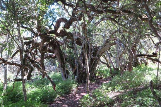 Overberg District, Südafrika: Milkwood forest