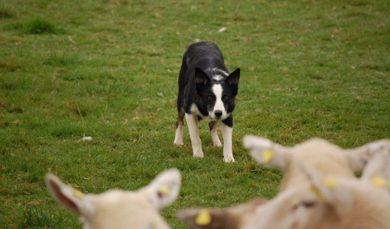 Annamoe, Irlandia: Sheepdogs must be able to control the sheep. I love the intensity on this dog's face