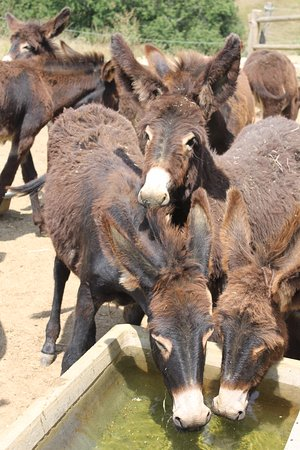 Biran, Γαλλία: les ânons