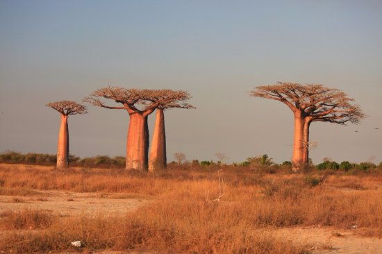 Avenue of the Baobabs: alley of baobab morondava