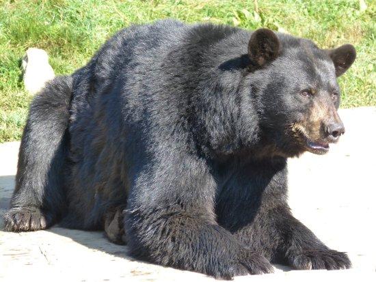 Montebello, Canada: Canada - le parc omega , l'ours noir