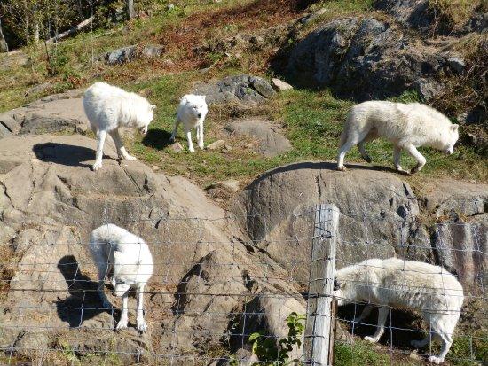 Montebello, Canada: Canada - le parc Omega , des loups arctiques