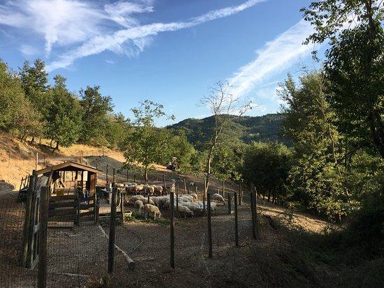 Pratovecchio, Italy: A poche centinaia di metri dalla casa, il recinto con il gregge di pecore