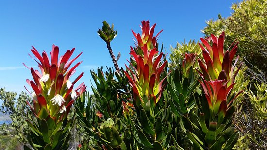 Overberg District, Sydafrika: Mimetes Protea on the Fynbos Trail