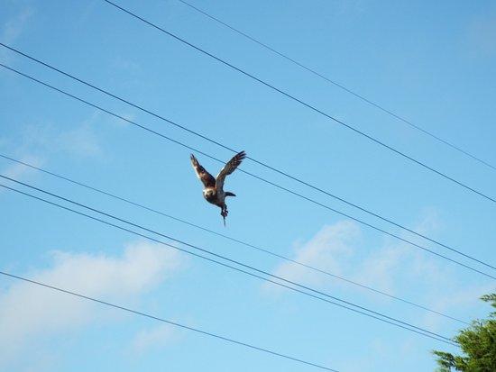 St Columb Major, UK: owl in flight