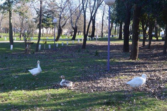 Crespo, Argentina: Patos. gansos y gallinas pasean por el parque