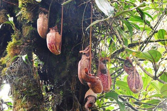 Tanah Rata, Malaysia: red pitcher plants