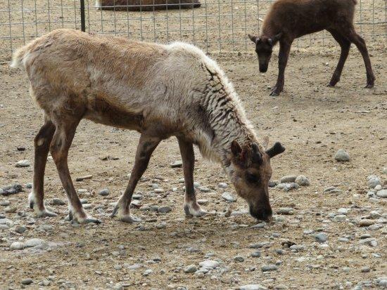 Reindeer Farm: reindeer