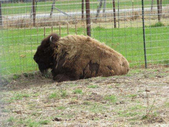 Palmer, AK: buffalo that lives on the farm