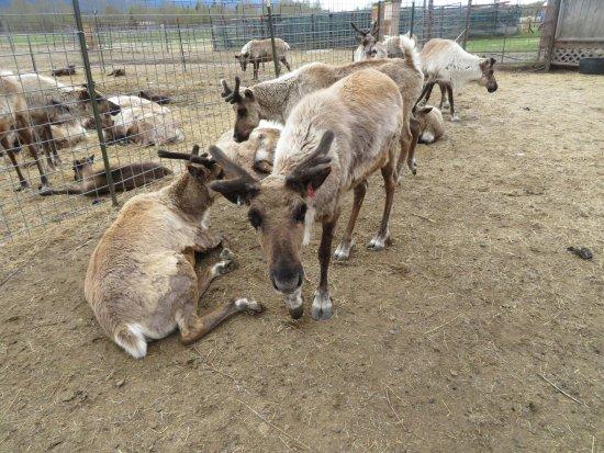 Palmer, AK: pen of reindeer