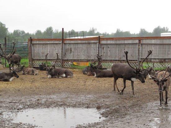 Palmer, AK: very wet reindeer during a rain storm