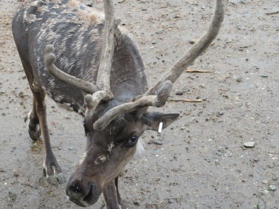 Palmer, AK: up close view of velvet on antlers