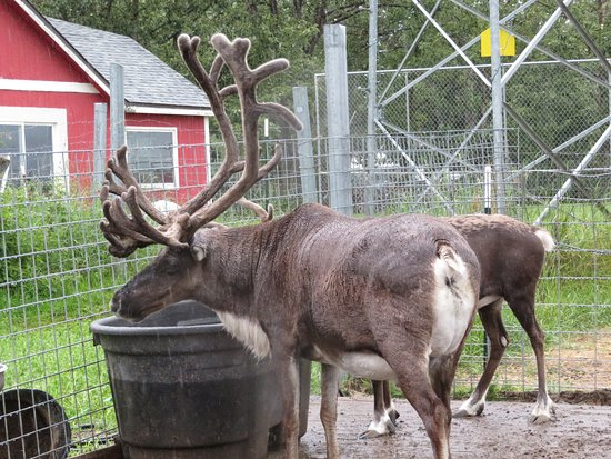 Reindeer Farm: beautiful reindeer
