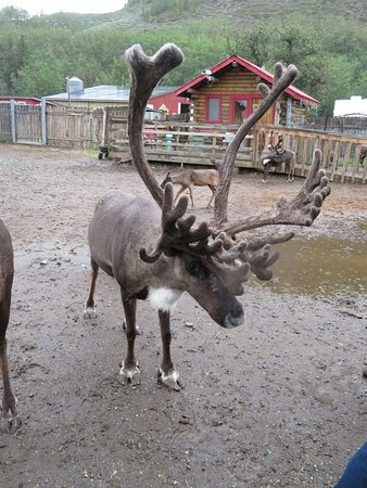 Reindeer Farm: large rack of antlers on this reindeer