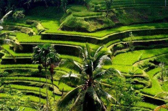 Shared Kintamani Barong Performance and Tegalalang Rice Field