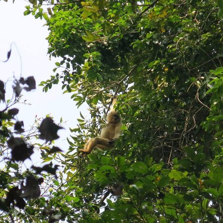 Banlung, Cambodia: Trekking is an adventure activities so why not ,lucky see a rare gibbon!