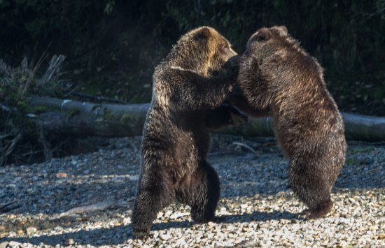 Campbell River, Canada: play fighting