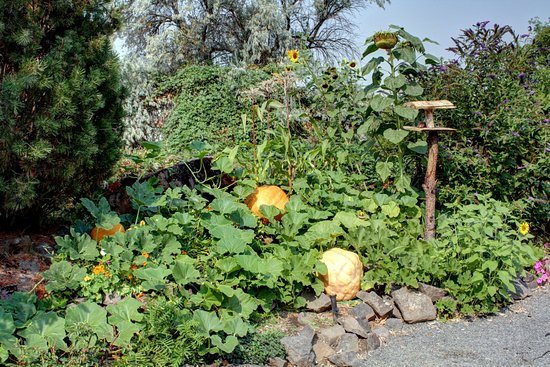 The Dalles, OR: Our pumpkins are getting big!
