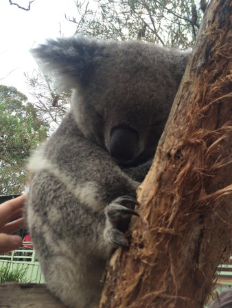 Blacktown, Australia: piccolo di koala
