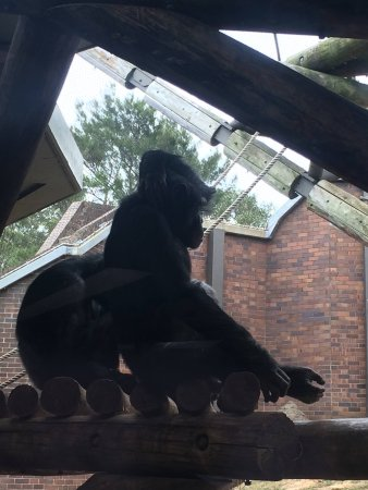 Mosman, ออสเตรเลีย: gorilla