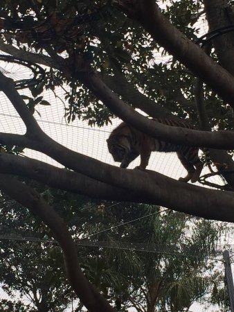 Mosman, ออสเตรเลีย: tigre di sumatra