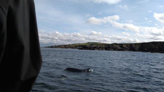 Eyemouth, UK: Dolphins surrounding the rib