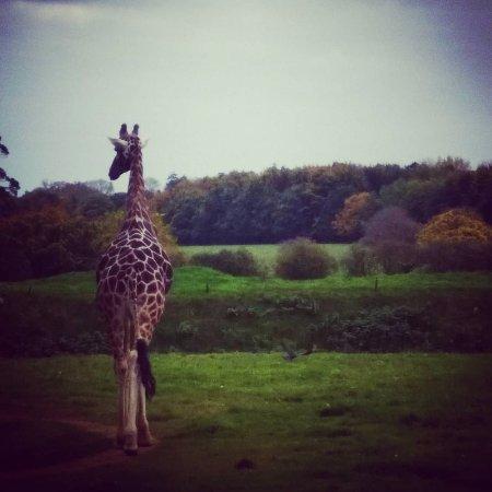 Burford, UK: Giraffe